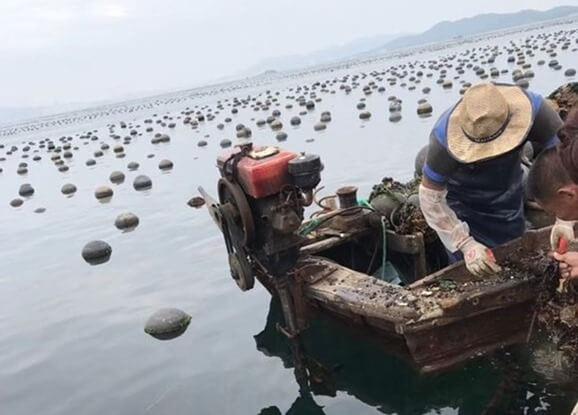 china-oyster-baido