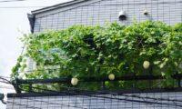 【201708ブログ収穫報告】4.8万PV。復活したゴーヤたち。