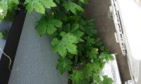 さすが水耕、根と葉の成長が早い!