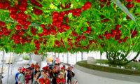 【超効率】1つの苗からトマト1万個⁉︎ 水耕栽培≒ハイポニカ その驚くべき性能を紹介するぜ!