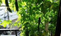 【月例報告】7月は21個収穫。収穫ペースUP!しかし小型化(涙)