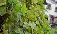 【そろそろお迎え?】ゴーヤくん、葉が急激に枯れ始めたので、気温との相関を調べてみた。