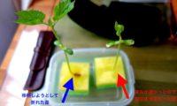 【2016年】ゴーヤ水耕栽培スタート!今年は熊本産ダブル体制だぜ